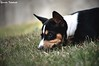 Waiting (Yuricka Takahashi) Tags: brazil dog brasil minas gerais mg cachorro basenji canino takahashi horizonte bh belo d90 yuricka