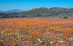 Namaqualand Wildflowers 4, August 2010