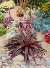 "Manfreda ""X Mangave Macho Mocha"" (Kelley Macdonald) Tags: succulent succulentgarden purplesucculent manfredaxmangavemachomocha"