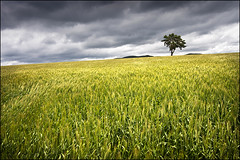 parc national des cévennes (heavenuphere) Tags: france cold tree field barley landscape wind lonely 1022mm gi languedocroussillon meyrueis lozère cévennes parcnationaldescévennes cévennesnationalpark