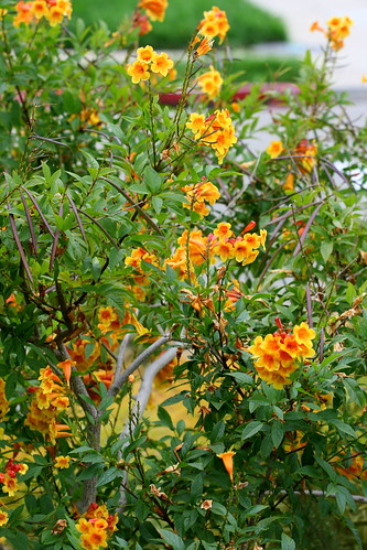 tecoma orange jubilee