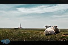 The Lord is my shepherd and my light! (7R-Aman) Tags: lighthouse canon germany deutschland sheep dam northsea damm ra raphael beacon nordsee schafe schaf stpeterording northgermany 500d canon500d ammann raphaelammann efs18mm200mm