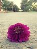 ~ سُـقـوطـ (Muneerah.Edl) Tags: وردة ، زهرة سقوط فوشي