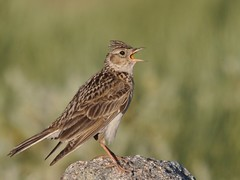 Laverca // Skylark (http://jvverde.birdsby.me/v2/) Tags: bird portugal nature birds natural wildlife natureza birdsinportugal avesemportugal pssaro aves ave pssaros oiseau bir serradaestrela vogel skylark pjaro avifauna uccello selvagem  lintu  alaudaarvensis   madr laverca     onwild emliberdade aoarlivre  nanatureza uccelloaves