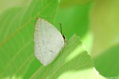 銀斑小灰蝶