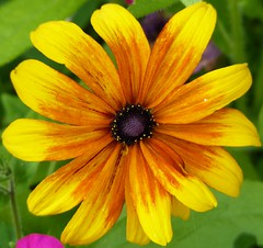 aug 10 garden 006 (expat a) Tags: rudbeckia aug10garden
