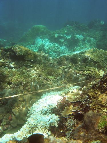 核三廠淺水域1-3 m處,多種珊瑚白化(許嘉閔攝)