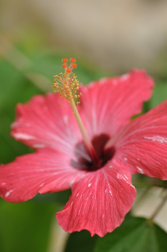 Hibiscus by Marufish, on Flickr