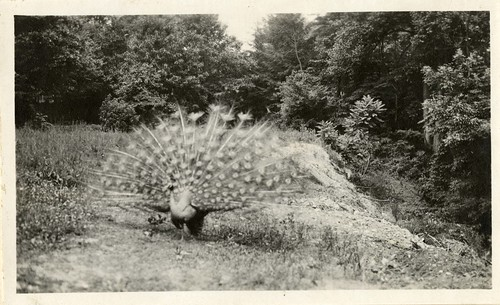 Views of the National Zoological Park in Washington, DC, showing Peacock, 1919, by Martin A. Gruber, Black-and-white photograph, Smithsonian Institution Archives, Martin A. Gruber Photograph Collection, 1919-1924, Local Number: SIA2010-2345.