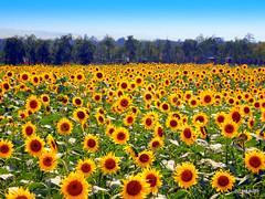 Sunflower Field - Japan (_takau99) Tags: trip travel flowers vacation holiday flower nature topv111 japan pen japanese topv555 topv333 asia topv444 august olympus topv222 sunflower 日本 topv666 topf10 yamanashi lakeyamanaka 2010 yamanaka 山中湖 山梨 yamanakako takau99 penlite 花の都公園 epl1 hananomiyakopark
