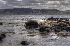 Seals (Glenn Cartmill) Tags: ireland irish nature water animals island eos unitedkingdom glenn seals digitalrebelxt 500d rathlin rathlinisland cartmill picturesofireland glenncartmill
