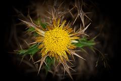 El peligro de lo bello (MGM_Photos) Tags: espaa flower yellow spain flor molino galicia amarillo amarelo pico dor dolor pedras piedras pincho muio catoira pinchar miudas picar