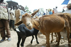 Goat in a market in Nigeria