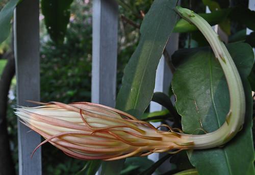 Epiphyllum oxypetalum 08-23-10 1845