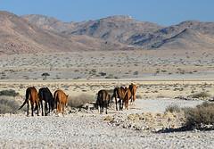 Garub Wild Horses 2