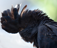 Red-tailed Black Cockatoo (Calyptorhynchus banksii) (Ingrid Douglas Images - ART in Photography) Tags: redtailedblackcockatoo ingridinoz perfectoartsdreamcaptures calyptorhynchusbanksiimacrorhynchus nativetoourareaintropicalnorthqueensland