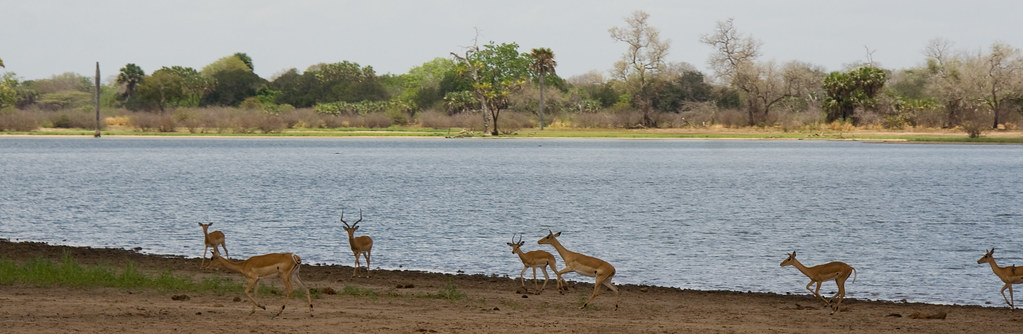 Impalas - Selous Game Reserve, Tanzania
