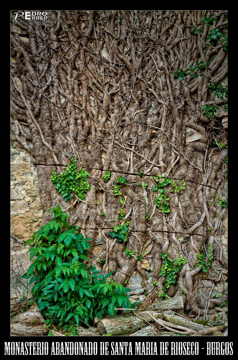 Santa María de Rioseco . Enredadera - La naturaleza desafía a la motosierra