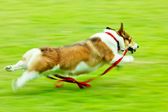 sliding (moaan) Tags: dog 2004 fly flying corgi july running run utata pan welshcorgi panning pochiko ef300mmf28lisusm gettyimagesjapanq1 gettyimagesjapanq2