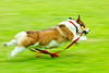 sliding (moaan) Tags: dog 2004 fly flying corgi july running run utata pan welshcorgi panning pochiko ef300mmf28lisusm gettyimagesjapanq1 gettyimagesjapanq2