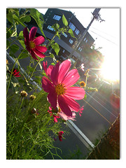 Photo as the makeshift... (dolphin_dolphin) Tags: flower japan wonder sapporo cosmos softbank cellularphone 912t