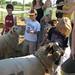 feeding the sheep alfalfa cubes