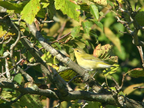 Tennessee Warbler 20100828