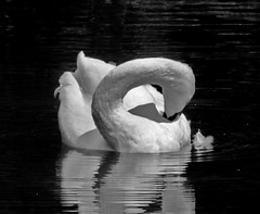 Elegance In Black & White (iloverealestate) Tags: swans muteswan