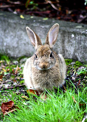 Kaninchen (GZZT) Tags: berlin rabbit germany de deutschland hare laub natur gras mitte hase 030 eutheria lagomorpha leporidae oryctolagus oryctolaguscuniculus wildkaninchen mittemitte gzzt