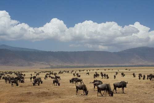 Western White-bearded Wildebeests - Ngorongoro Crater, Tanzania