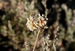 Buckwheat (Eriogonum sp) (Arboreal Boids) Tags: plant oregon alpine steens eriogonum buckwheat harneycounty steensmountains eriogonumstrictum strictdesertbuckwheat
