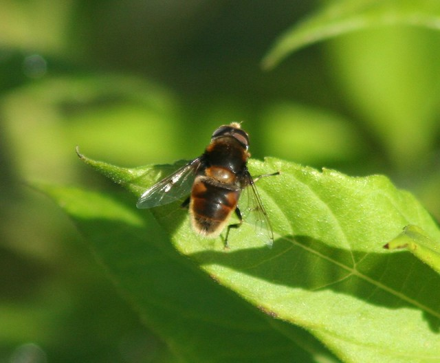 Have-Dyndflue (Eristalis horticola)