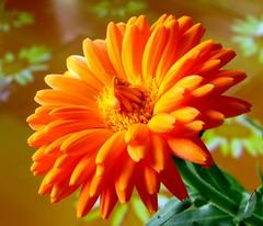 Mein Lieblingsfoto aus dem Jahr 2010. This Photo is my best loved of the Year 2010.  Calendulae ver. 2 (eagle1effi) Tags: macro colorful calendulae orange canonpowershotsx1is sx1isbest selectivedof dof canonmacro canonpowershotsx1isreferenceshot canonsx1is württemberg yourbestoftoday llovemypics powershot germany effiartkunstcopyrightartisteagle1effi django´smasterclass damncool canonsx1ispowershot badenwuerttemberg artexpression artandexpression 3wordcomments naturemasterclass flora closer canon by©eagle1effi aworkofart badenwürttemberg ae1fave ae1faves views300 bestshot2010 nature blume fauna eagle1effi foliage blumen natur nolimits views500 fav10 flower fiori fiore flowers beautifulcityoftübingengermany tübingen über100malgesehen views100 tagesbeste favoriten lieblingsbilder flickr photos fotos beste bestof byeagle1effi selection selektion auswahl tubingue calendula ringelblume bokehwhores unschärfekreise spielmitderschärfe boke siesindsozusagenerfindungendesobjektivs referenceshot referenz