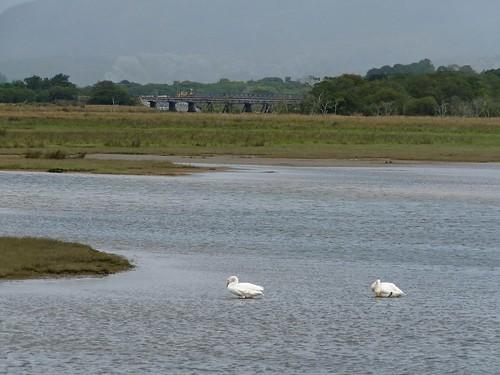 22360 - Whooper Swan, Porthmadog