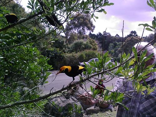 Regent Bower Birds