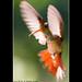 Hummingbird III / Colibri - Costa Rica