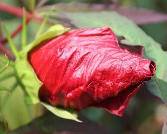 scarlet flower 1 by VC3 Employee Photos