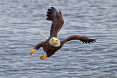 Sharp Turn! (Todd Ryburn) Tags: birds canon eagle baldeagle iowa raptor birdsinflight eagles raptors bif baldeagles 2011 800mmf56 canon1dmarkiv lockdam14