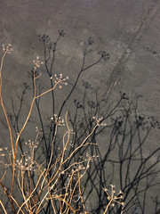 Dried Flower Shadows (helenjagcat) Tags: old flowers boat shadows shed canvas dried lindisfarne