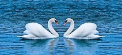 [フリー画像] 動物, 鳥類, カモ科, グラフィックス, フォトアート, 白鳥・ハクチョウ, 201102161100
