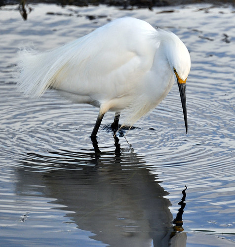 Snowy Egret 6 (Contemplating his own reflection)