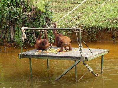 Orang utan having snack