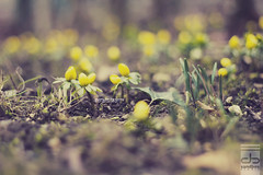 waiting for the spring (Maegondo) Tags: winter flower color nature yellow canon germany bayern deutschland bavaria 50mm spring soft dof seasons bokeh creamy ingolstadt eos550d