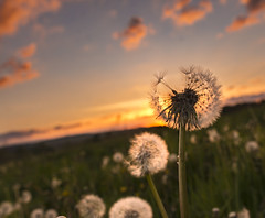 Dandelion in sunset (Helen Lundberg Photography) Tags: dandelion sunset flower clouds evening taraxacum sunsetlight field landscape sweden swedish