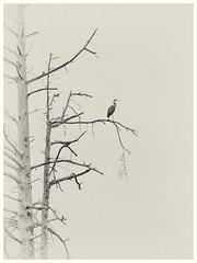 Domain of the Heron (MontanaRoots (aka Craig)) Tags: monochrome greatblueheron heron snag bird tree wetland seattle washington canon markiv nature riparian sillouette