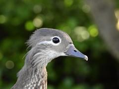 Mandarin duck (PhotoLoonie) Tags: duck mandarinduck mandarinfemale wildlife nature closeup portrait animalportrait