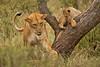 Lions of Maasai Kopjes 422 (Grete Howard) Tags: bestsafarioperator bestsafaricompany africa africansafari africanbush africananimals whichsafaricompany whichsafarioperator tanzania serengeti animals animalsofafrica animalphotos lions lioncubs maasaikopjes kopjes kopje
