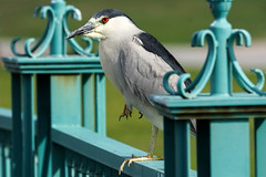 Black-Crowned Night-Heron (BernieErnieJr) Tags: blackcrownednightheron heron citypark denver colorado coloradowildlife wildlife sony70400mmg2 water sonya77mkii lake sunshine bernie frontrange duhamel greatphotographers teamsony rockymountains shorebird