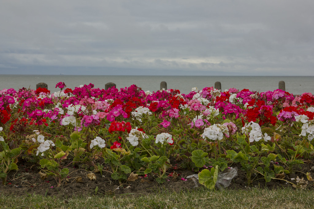 Seaside flowers: Cold Knap beach, Barry