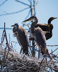 Eleanor Island's Great Blue Herons (b.m.a.n.) Tags: waterbirds muskoka birds greatblueheron canada colonialwaterbirds canada150 nikond610 eleanorislandnationalwildlifearea
